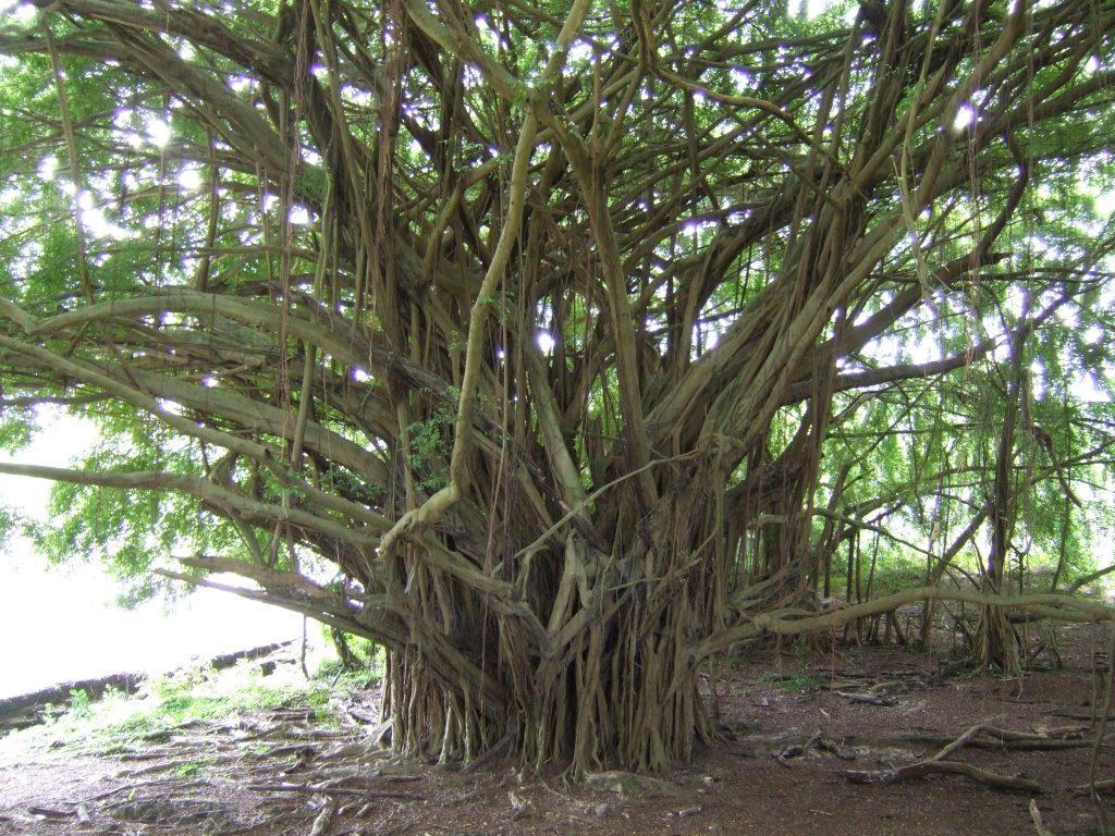 hawaii-trees
